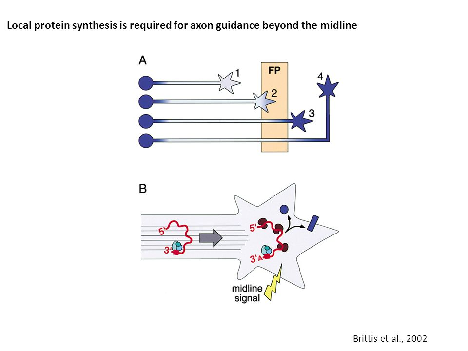 Local protein synthesis is required for axon guidance beyond the midline Brittis et al., 2002