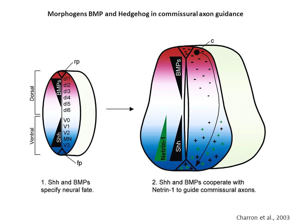 Morphogens BMP and Hedgehog in commissural axon guidance Charron et al., 2003