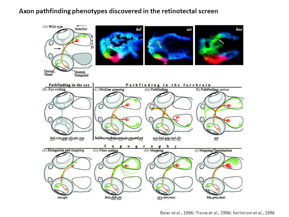 Axon pathfinding phenotypes discovered in the retinotectal screen Baier et al., 1996; Trowe et al., 1996; Karlstrom et al., 1996