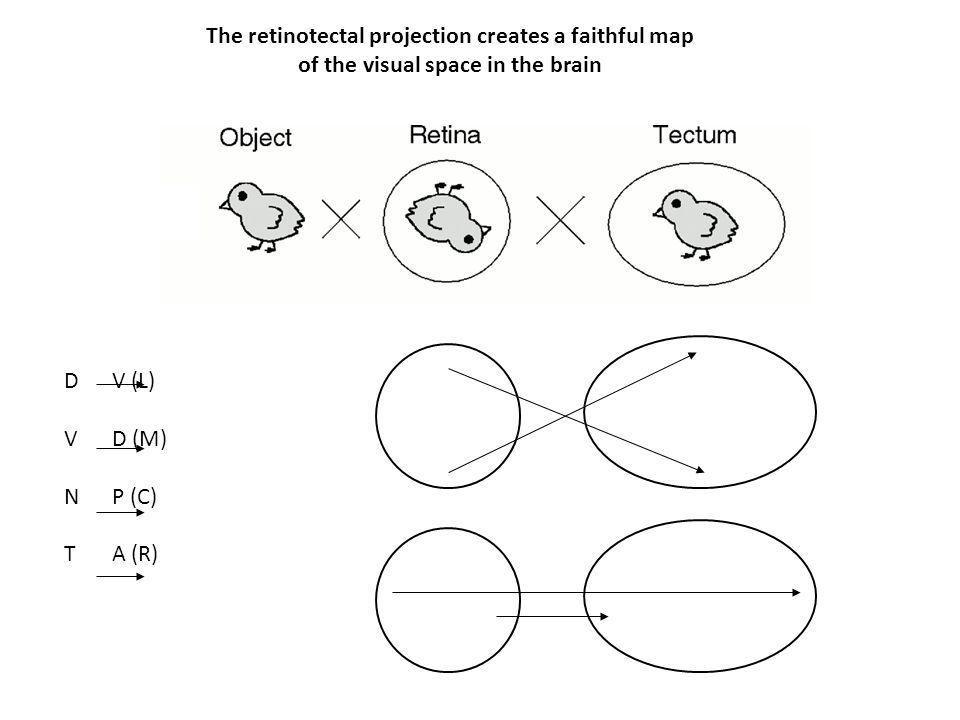 The retinotectal projection creates a faithful map of the visual space in the brain DV (L) VD (M) NP (C) TA (R)