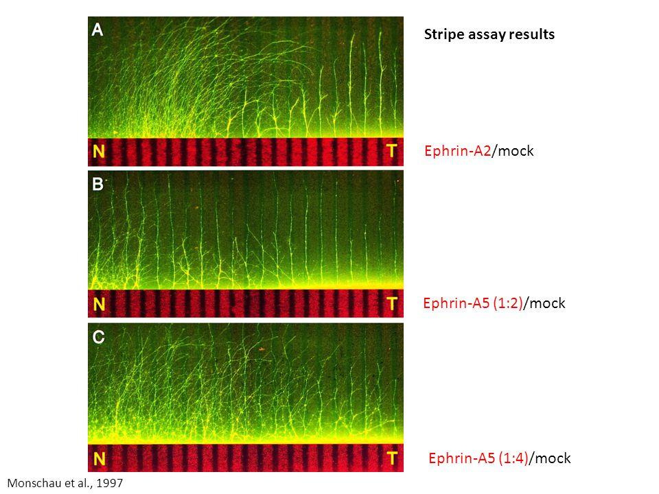 Ephrin-A5 (1:2)/mock Ephrin-A5 (1:4)/mock Ephrin-A2/mock Stripe assay results Monschau et al., 1997