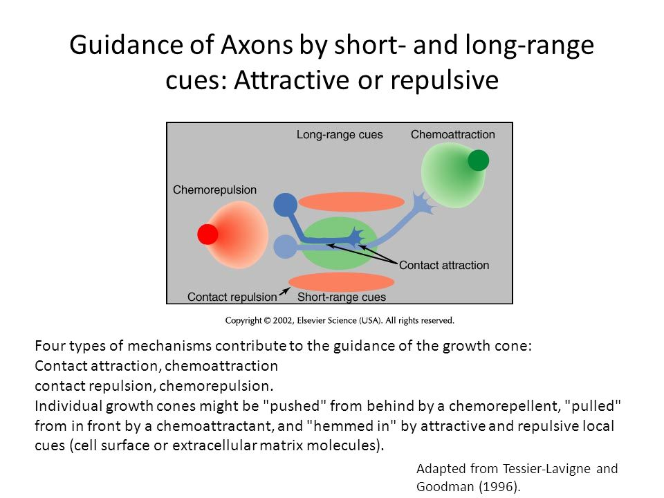 Guidance of Axons by short- and long-range cues: Attractive or repulsive Four types of mechanisms contribute to the guidance of the growth cone: Conta