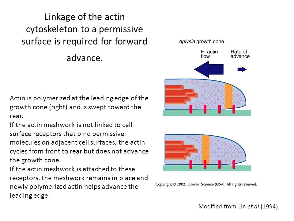 Linkage of the actin cytoskeleton to a permissive surface is required for forward advance. Actin is polymerized at the leading edge of the growth cone