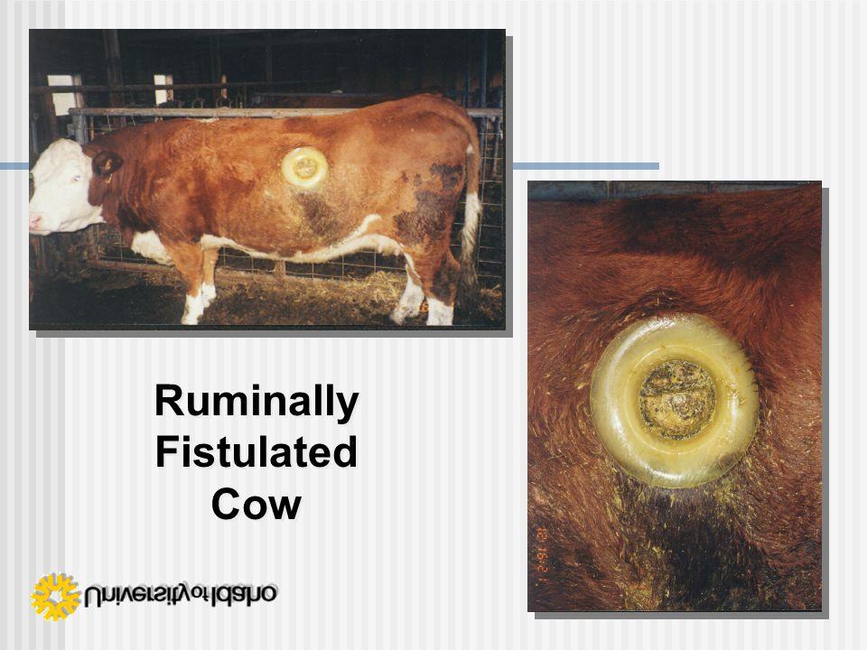 Ruminally Fistulated Cow Ruminally Fistulated Cow