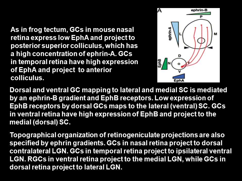 As in frog tectum, GCs in mouse nasal retina express low EphA and project to posterior superior colliculus, which has a high concentration of ephrin-A.