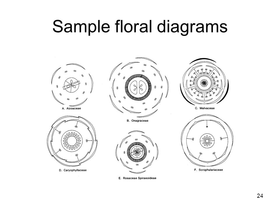 24 Sample floral diagrams