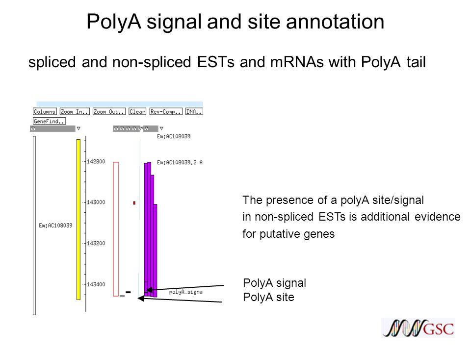 PolyA signal and site annotation spliced and non-spliced ESTs and mRNAs with PolyA tail The presence of a polyA site/signal in non-spliced ESTs is additional evidence for putative genes PolyA signal PolyA site
