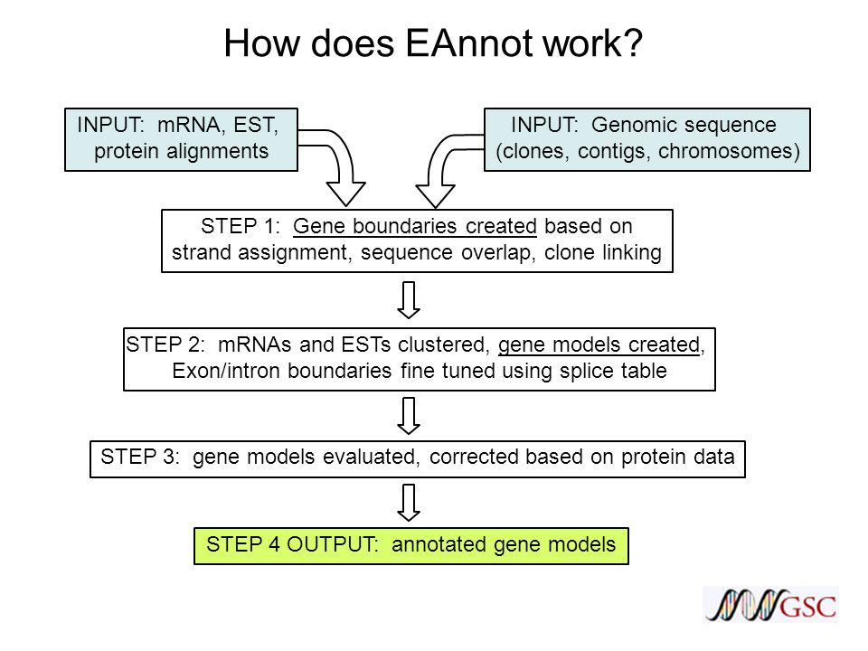 INPUT: mRNA, EST, protein alignments STEP 1: Gene boundaries created based on strand assignment, sequence overlap, clone linking STEP 2: mRNAs and ESTs clustered, gene models created, Exon/intron boundaries fine tuned using splice table STEP 3: gene models evaluated, corrected based on protein data STEP 4 OUTPUT: annotated gene models How does EAnnot work.