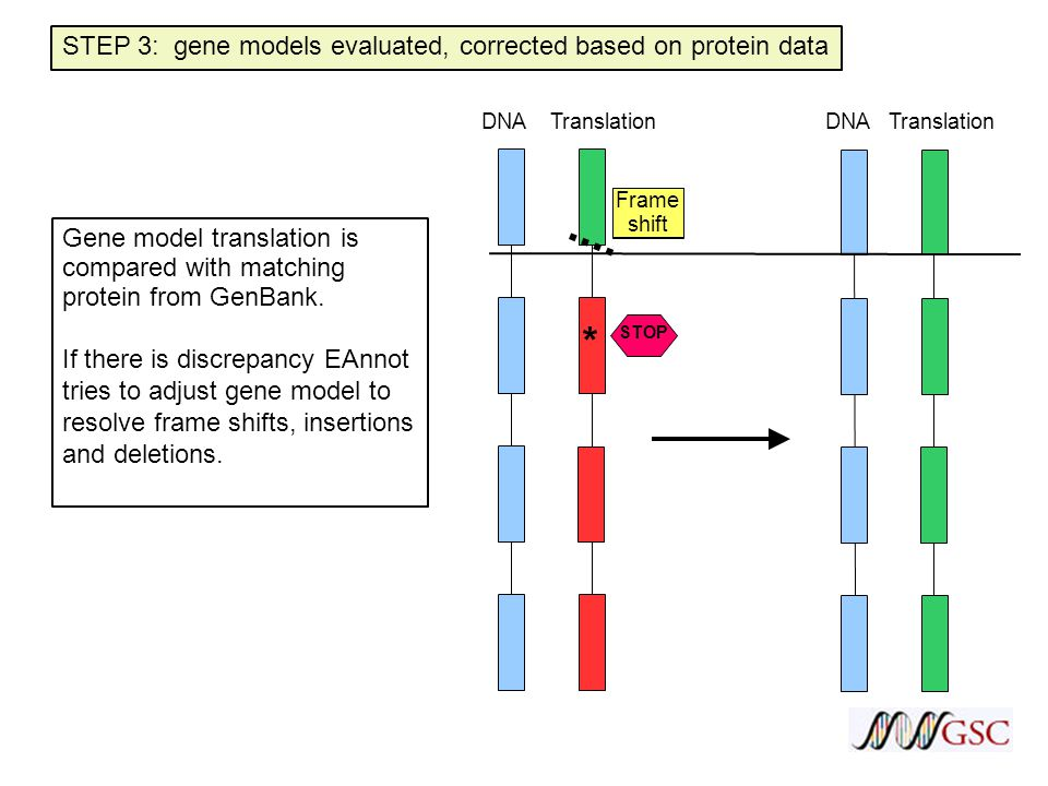 3' STOP Frame shift STEP 3: gene models evaluated, corrected based on protein data Gene model translation is compared with matching protein from GenBank.