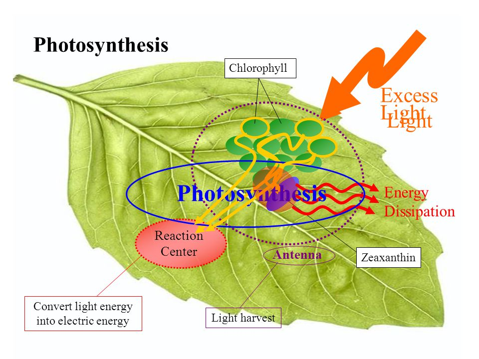 Photosynthesis Light Reaction Center Antenna Chlorophyll Zeaxanthin Excess Light Energy Dissipation Photosynthesis Convert light energy into electric energy Light harvest