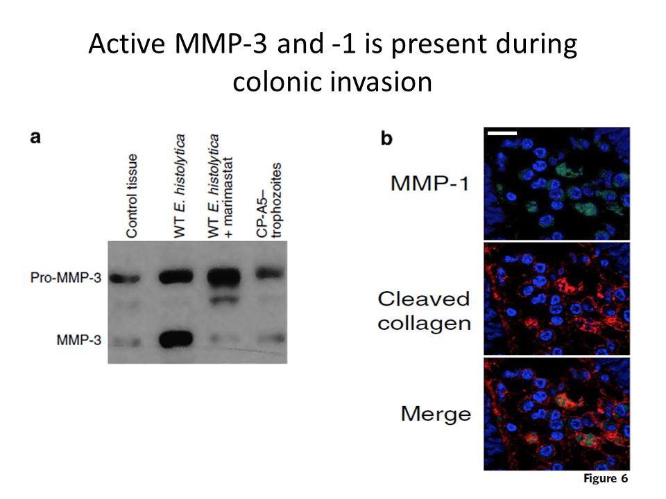 Active MMP-3 and -1 is present during colonic invasion