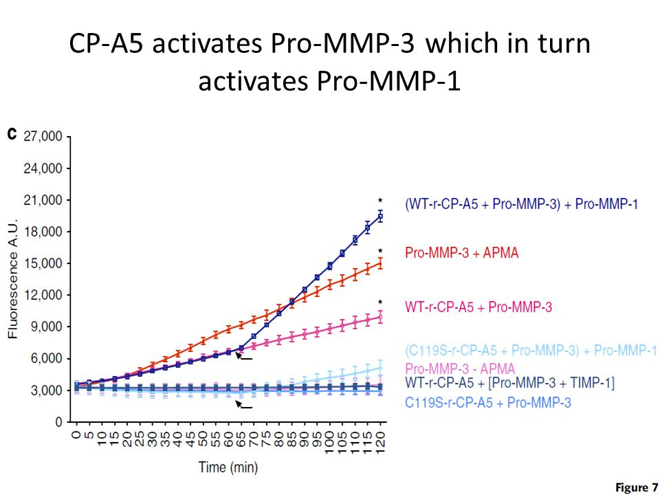 CP-A5 activates Pro-MMP-3 which in turn activates Pro-MMP-1