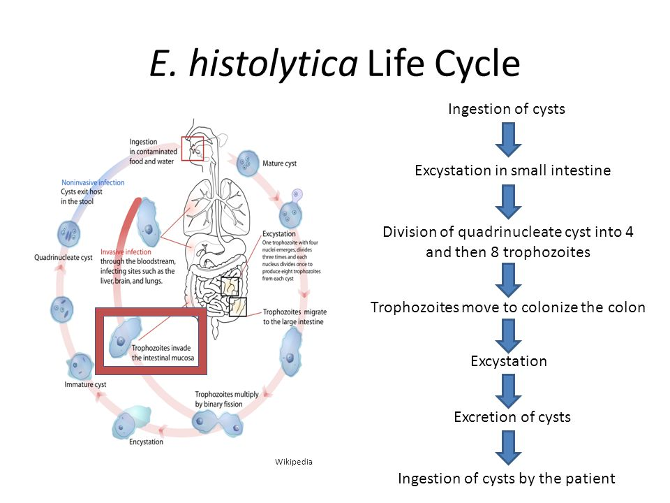 E. histolytica Life Cycle Ingestion of cysts Excystation in small intestine Division of quadrinucleate cyst into 4 and then 8 trophozoites Trophozoite