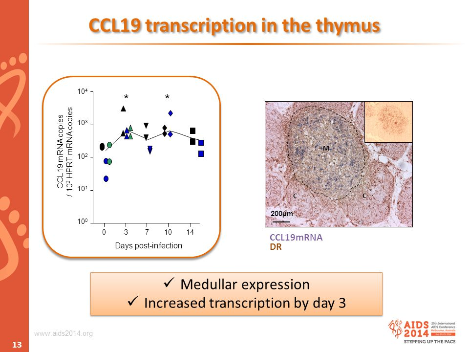 www.aids2014.org CCL19 transcription in the thymus Medullar expression Increased transcription by day 3 Medullar expression Increased transcription by