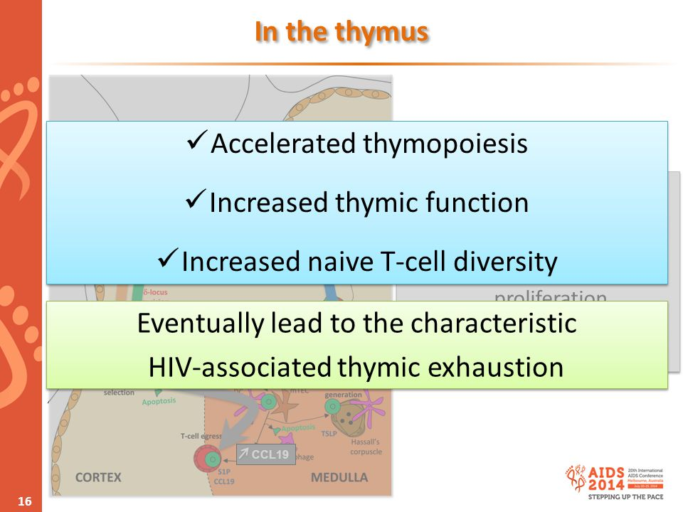 www.aids2014.org 16 CCL25 CXCL12Proliferation CCL19 In the thymus Diversified IFN-  production Thymic IFN-  subtypes Inhibit thymocytes proliferatio