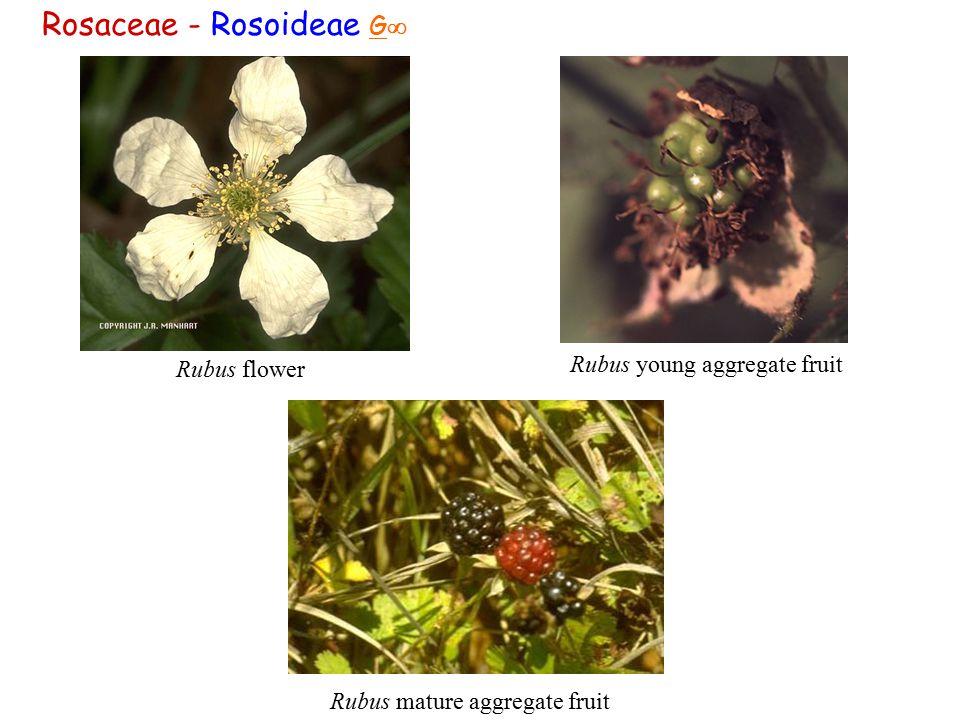 Rosaceae - Rosoideae G  Rubus flower Rubus mature aggregate fruit Rubus young aggregate fruit