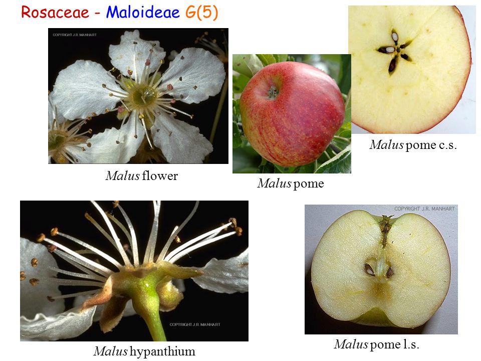 Rosaceae - Maloideae G(5) Malus pome l.s. Malus flower Malus hypanthium Malus pome c.s. Malus pome