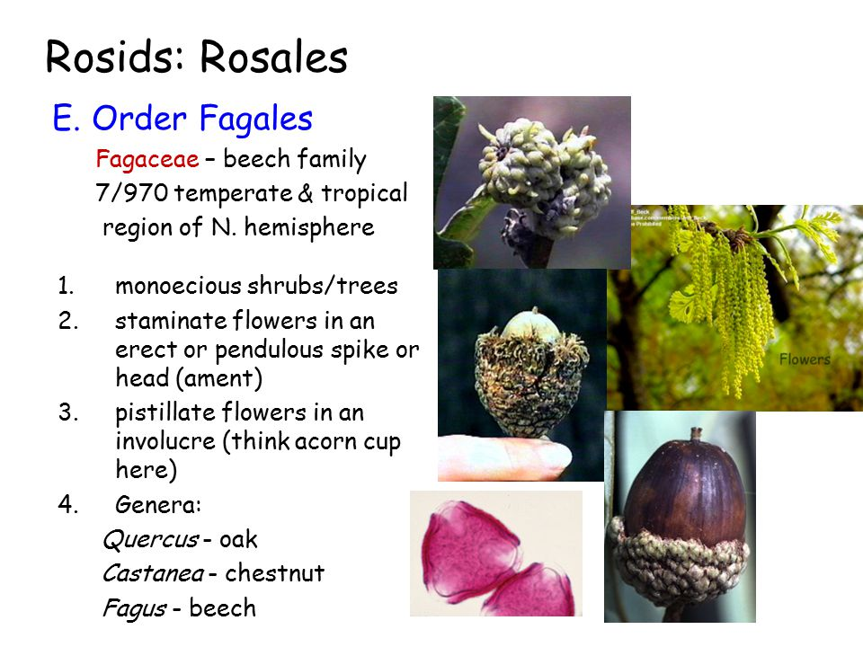 Rosids: Rosales E. Order Fagales Fagaceae – beech family 7/970 temperate & tropical region of N. hemisphere 1.monoecious shrubs/trees 2.staminate flow
