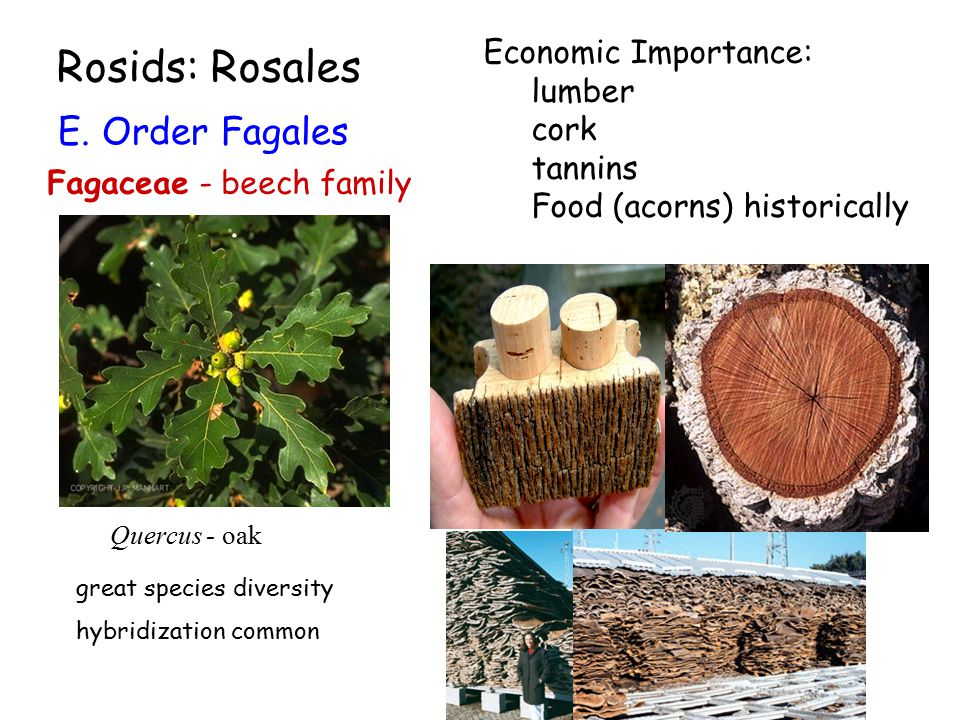 Rosids: Rosales E. Order Fagales Fagaceae - beech family Quercus - oak Economic Importance: lumber cork tannins Food (acorns) historically great speci