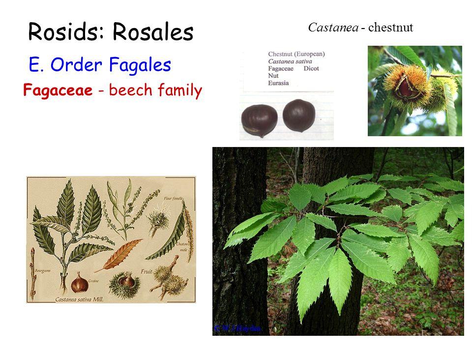 Rosids: Rosales E. Order Fagales Fagaceae - beech family Castanea - chestnut