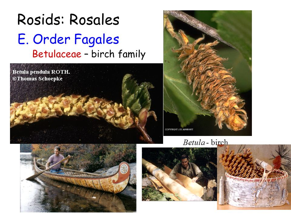 Rosids: Rosales E. Order Fagales Betulaceae – birch family Betula - birch