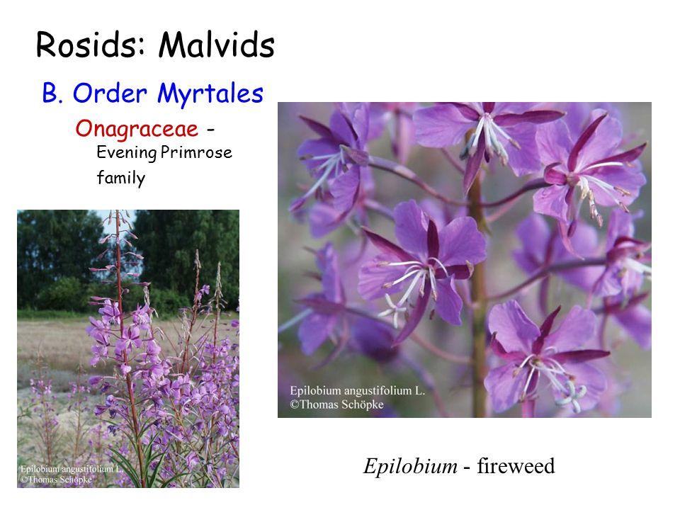 Rosids: Malvids B. Order Myrtales Onagraceae - Evening Primrose family Epilobium - fireweed
