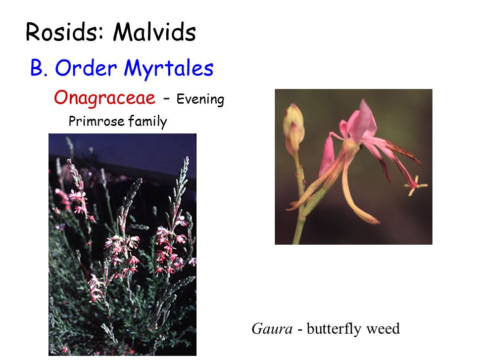 Rosids: Malvids B. Order Myrtales Onagraceae - Evening Primrose family Gaura - butterfly weed