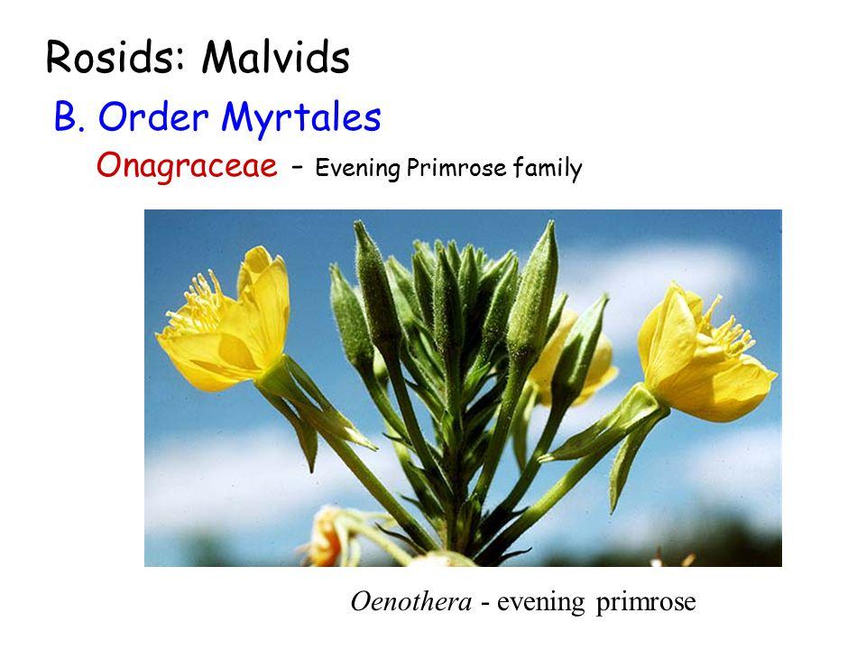 Rosids: Malvids B. Order Myrtales Onagraceae - Evening Primrose family Oenothera - evening primrose