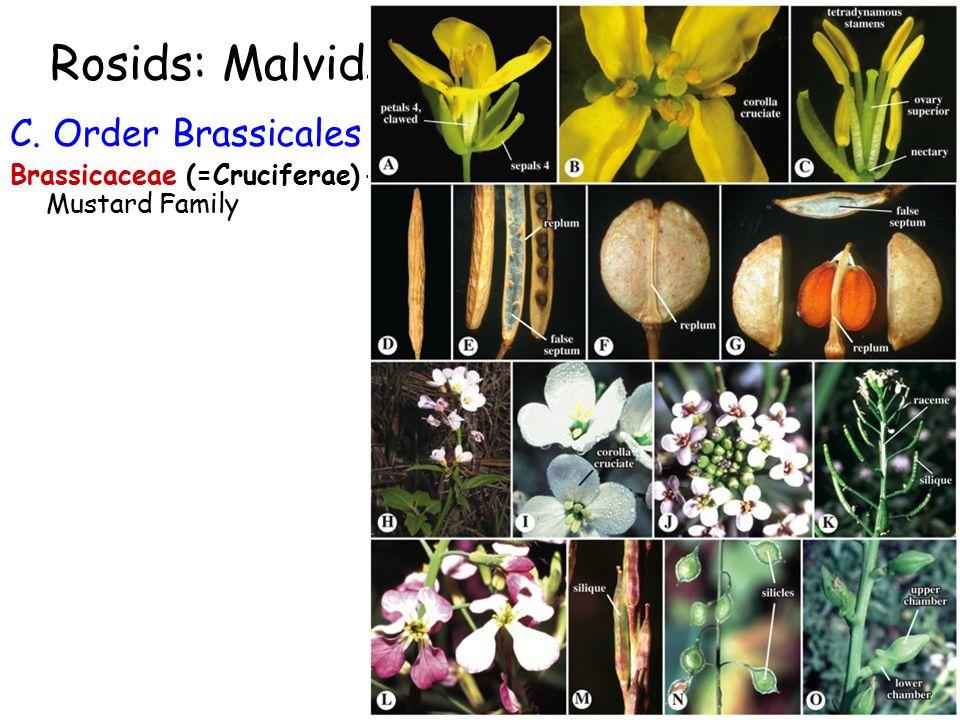Rosids: Malvids C. Order Brassicales Brassicaceae (=Cruciferae) - Mustard Family