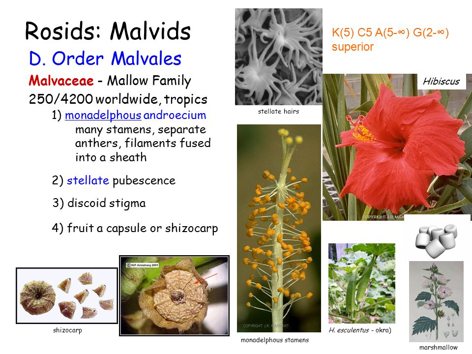Rosids: Malvids D. Order Malvales Malvaceae - Mallow Family 250/4200 worldwide, tropics K(5) C5 A(5-∞) G(2-∞) superior G (5-∞) 1) monadelphous androec
