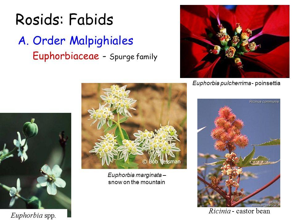 Rosids: Fabids A. Order Malpighiales Euphorbiaceae - Spurge family Euphorbia spp.