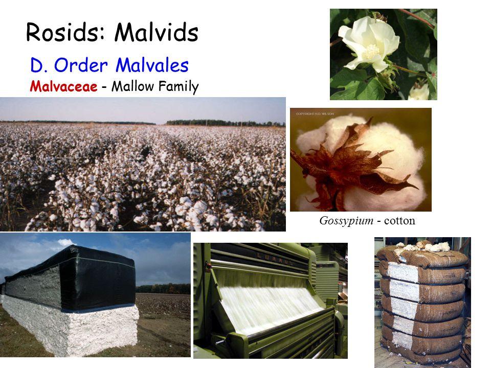 Rosids: Malvids Gossypium - cotton D. Order Malvales Malvaceae - Mallow Family