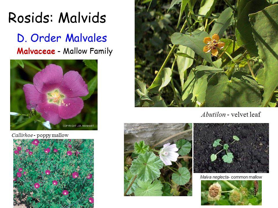 Rosids: Malvids D.