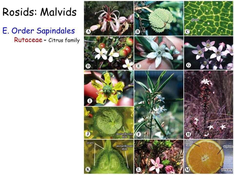 Rosids: Malvids E. Order Sapindales Rutaceae - Citrus family