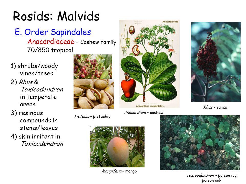 Rosids: Malvids E.