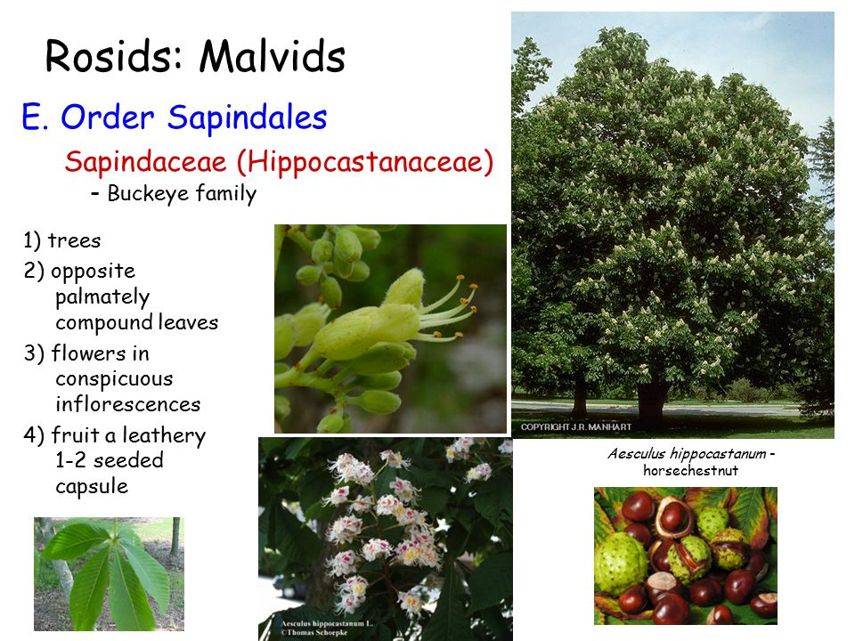 Rosids: Malvids E. Order Sapindales Sapindaceae (Hippocastanaceae) - Buckeye family 1) trees 2) opposite palmately compound leaves 3) flowers in consp