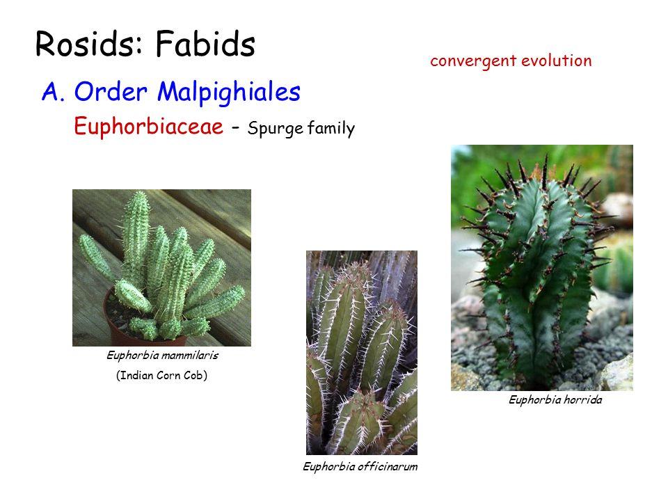 Rosids: Fabids A.