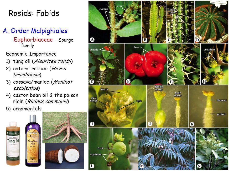 Economic Importance 1) tung oil (Aleurites fordii) 2) natural rubber (Hevea brasiliensis) 3) cassava/manioc (Manihot esculentus) 4) castor bean oil & the poison ricin (Ricinus communis) 5) ornamentals A.