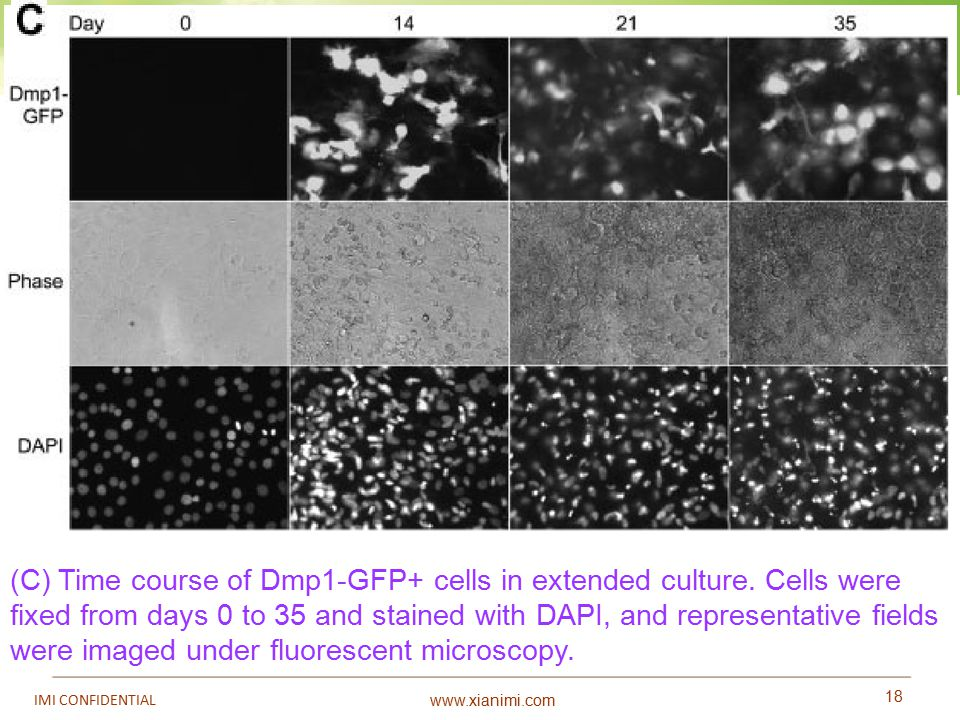 www.xianimi.com 18 IMI CONFIDENTIAL (C) Time course of Dmp1-GFP+ cells in extended culture. Cells were fixed from days 0 to 35 and stained with DAPI,