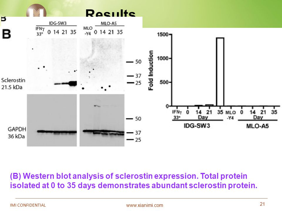www.xianimi.com 21 IMI CONFIDENTIAL Results (B) Western blot analysis of sclerostin expression. Total protein isolated at 0 to 35 days demonstrates ab