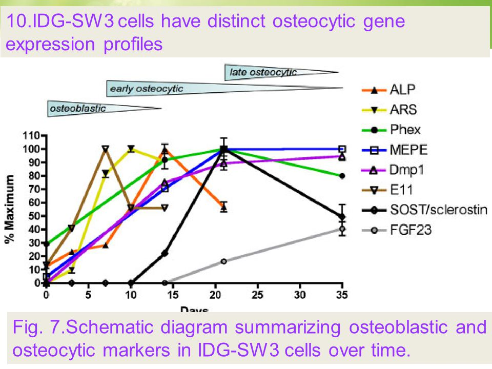 www.xianimi.com 32 IMI CONFIDENTIAL Fig. 7.Schematic diagram summarizing osteoblastic and osteocytic markers in IDG-SW3 cells over time. 10.IDG-SW3 ce