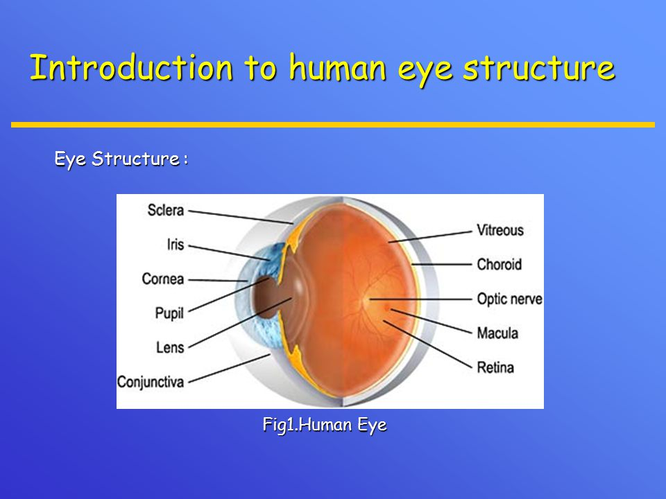 Introduction to human eye structure Eye Structure : Eye Structure : Fig1.Human Eye