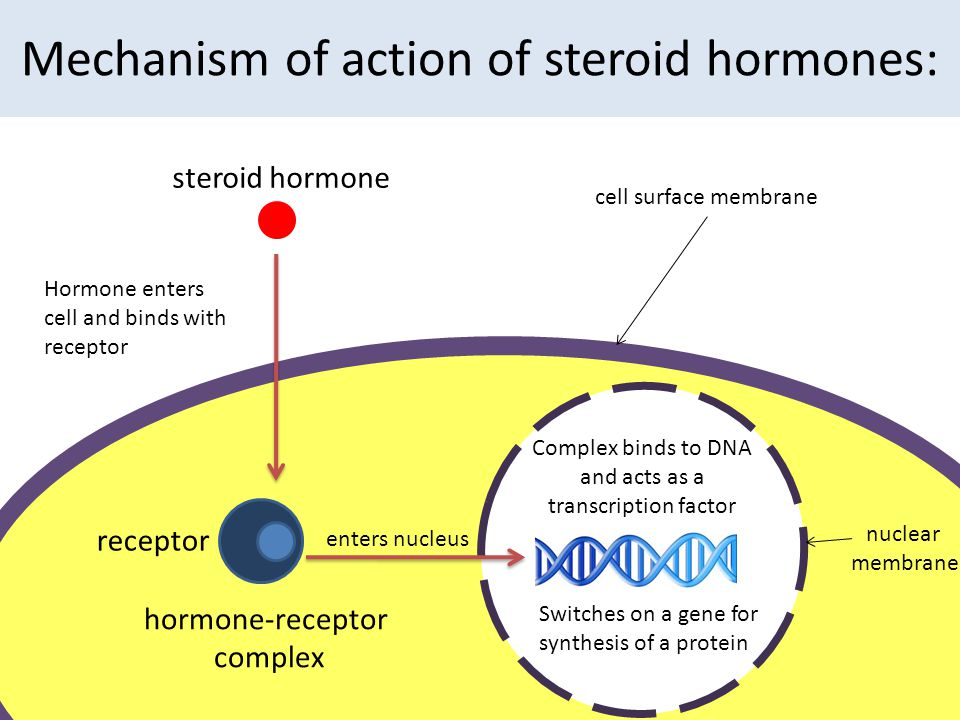 Mechanism of action of steroid hormones: cell surface membrane steroid hormone receptor Hormone enters cell and binds with receptor hormone-receptor c