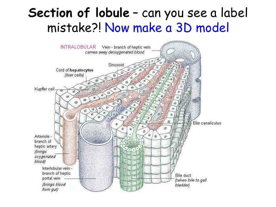 Liver Structure http://www.siumed.edu/~dking2/erg/GI159 b.htmhttp://www.siumed.edu/~dking2/erg/GI159 b.htm http://www.nottingham.ac.uk/nursing/sonet /