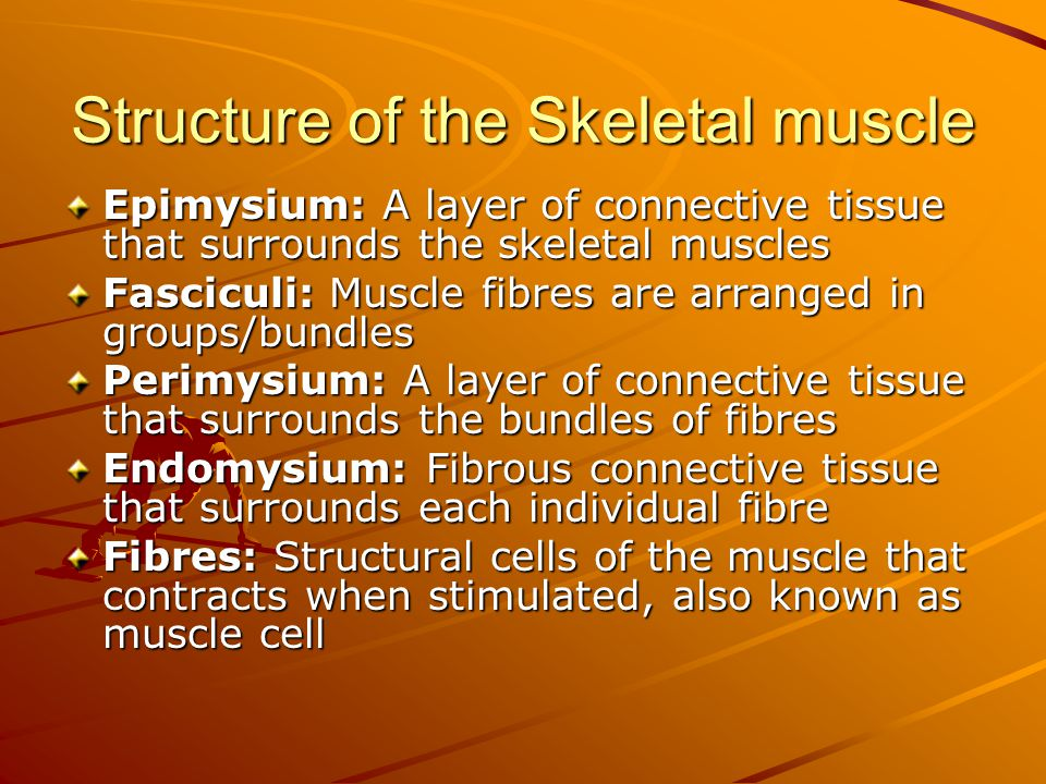 Structure of the Skeletal muscle Epimysium: A layer of connective tissue that surrounds the skeletal muscles Fasciculi: Muscle fibres are arranged in groups/bundles Perimysium: A layer of connective tissue that surrounds the bundles of fibres Endomysium: Fibrous connective tissue that surrounds each individual fibre Fibres: Structural cells of the muscle that contracts when stimulated, also known as muscle cell