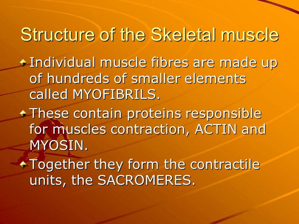 Structure of the Skeletal muscle Individual muscle fibres are made up of hundreds of smaller elements called MYOFIBRILS.