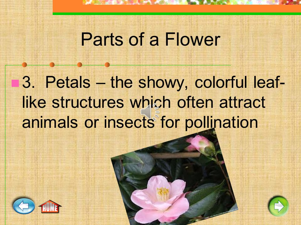 Parts of a Flower 3. Petals – the showy, colorful leaf- like structures which often attract animals or insects for pollination