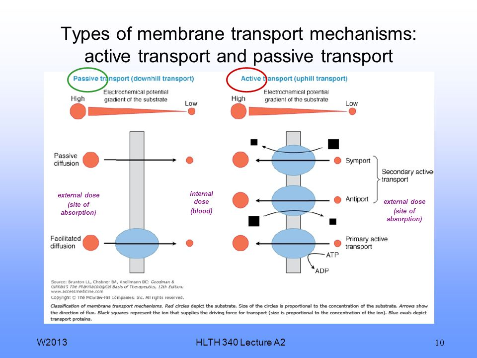 HLTH 340 Lecture A2W2013 9 Absorption of molecules across external and internal membrane barriers transcellular paracellular passive diffusion (non-se