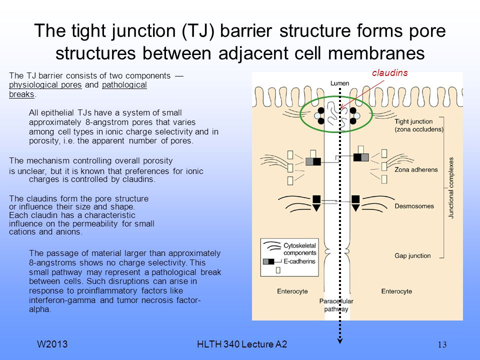 HLTH 340 Lecture A2W2013 12 Paracellular permeation through a membrane barrier occurs between adjacent cell membranes The characteristics of the parac