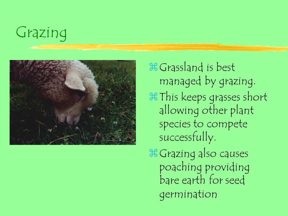 Grazing zGrassland is best managed by grazing. zThis keeps grasses short allowing other plant species to compete successfully. zGrazing also causes po